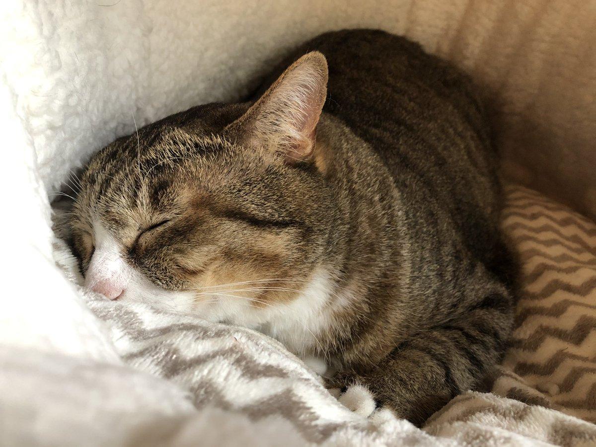 昨日ちゃしろお兄ちゃんと猫ベッドで一緒に寝てからボスはずーっとベッドにいる。見る度に初めて見るリラックスした寝相になっている。呼びかけたり少し撫でたりしてもチラッとこちらを見るだけ。幸せな記憶とふかふかの寝心地が結びついて、しばらくここを離れたくないのだろうね。ゆっくりおやすみ。