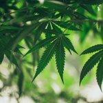 Image for the Tweet beginning: #cannabis #marijuana #weed Accused sold