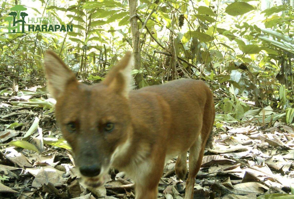 Ajag, Anjing Hutan Langka di hutan Jawa Barat (twitter/hutan_harapan)