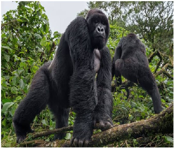 What is the special about a gorilla?  Here is an interesting fact.  Some gorillas have learned to use sign language to communicate with humans.  #rwandatourism #rwandatour #rwandatours #rwandagorillatour #rwandagorillatours #rwandagorilla #gorillasafari #travelrwanda #safariDMC https://t.co/nvOLvI8bgs