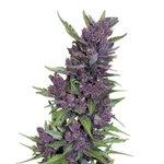 Image for the Tweet beginning: Left: Purple Kush, a popular