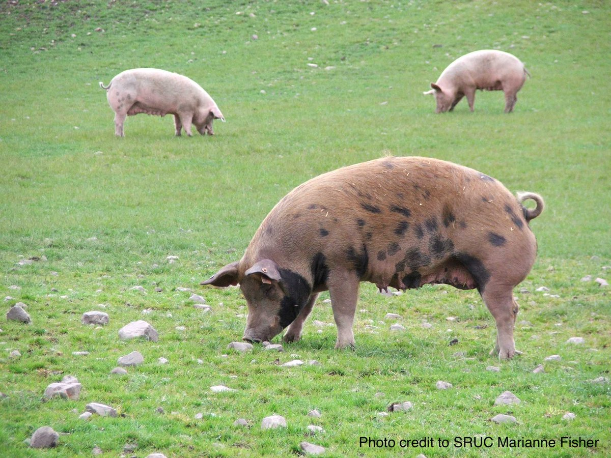 Do you have a #PhD in applied ethology & an interest in farm animal transport (especially pigs)? Apply for a 3-year #postdoc at Aarhus University in Denmark.  https://t.co/pxsWUw9tTU https://t.co/zQfr55B6Op