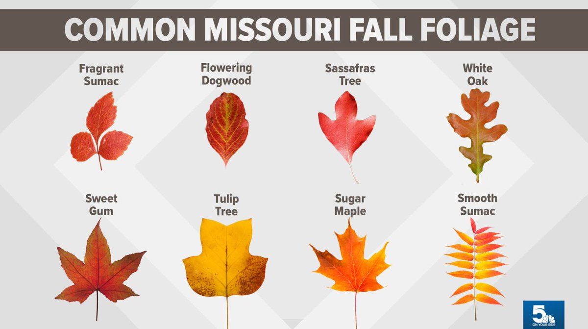 Types of trees with brilliant fall colors in the St. Louis area 🍃🍂🍁 ksdk.com/article/featur…