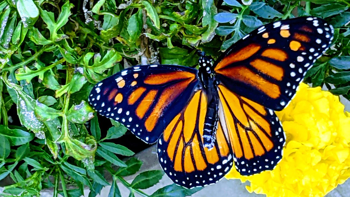 A female #monarch #butterfly 60.2020 released this morning. #Tulsa #Oklahoma #TwitterNatureCommunity https://t.co/3qnuUJG9ll