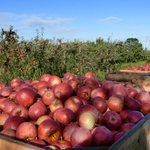Image for the Tweet beginning: It's apple-picking season. If you