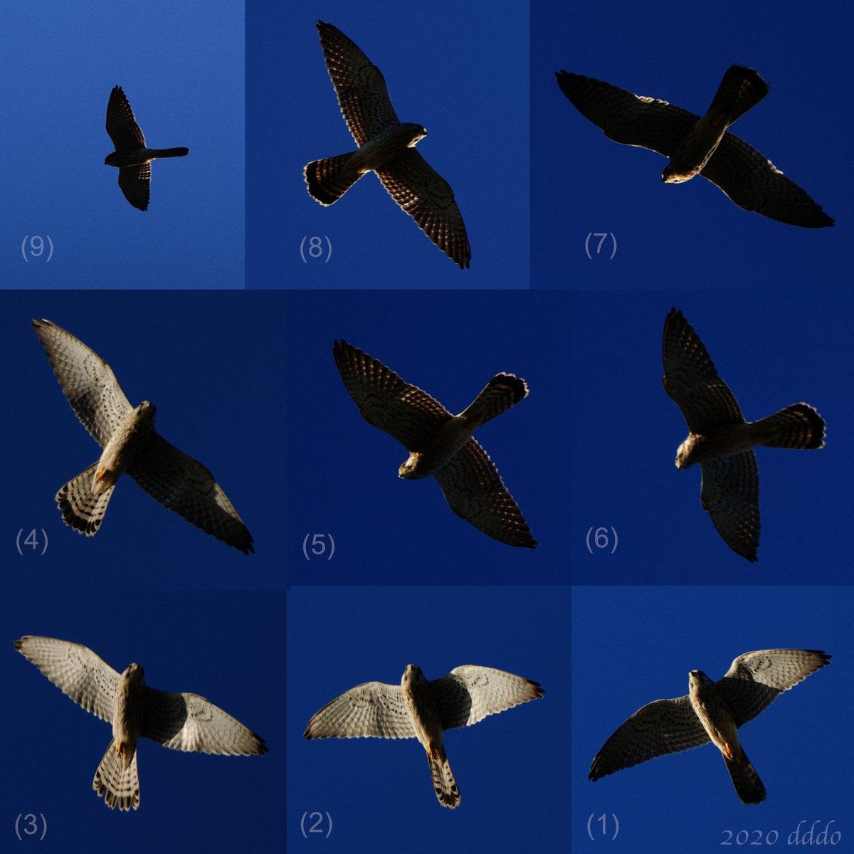 帆翔で旋回しつつ概ね南に #飛行 する #チョウゲンボウ ピクセル等倍。わたりかな^^? でも餌探し風にキョロキョロしている様にも見えますね^^? 2020.09.28 #D500 #500mmF56Epf #CommonKestrel #flight #bird #photo #鳥 #写真 https://t.co/urJKUAy0jH
