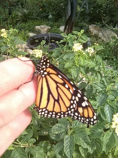I said Ma could show you a pikshur of da #butterflies she raises, dey be Monarchs.  Here is one that came outta its chrysalis yesterday... #nature #beautiful #lovely #wild #free #migration #monarch @journeynorthorg https://t.co/rU9DwHN2vm