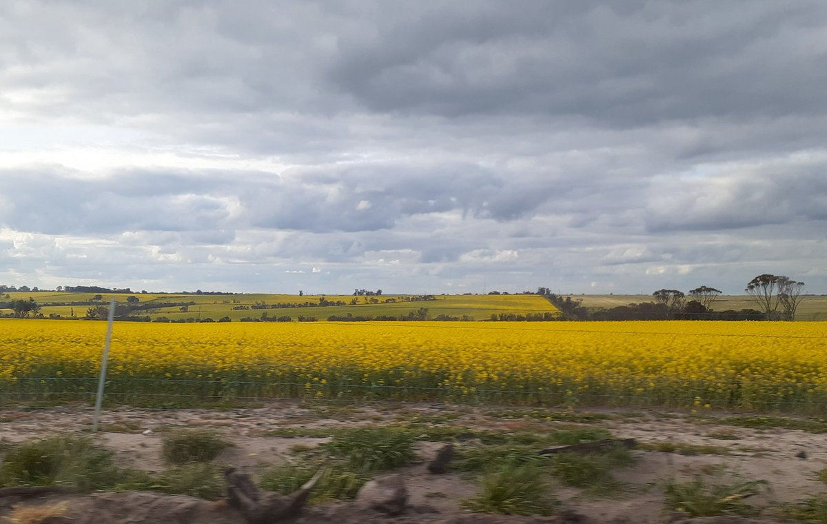 Driving to get a new slasher for the tractor yesterday and it's fields of gold everywhere. #WesternAustralia https://t.co/XQG2EhRTSr