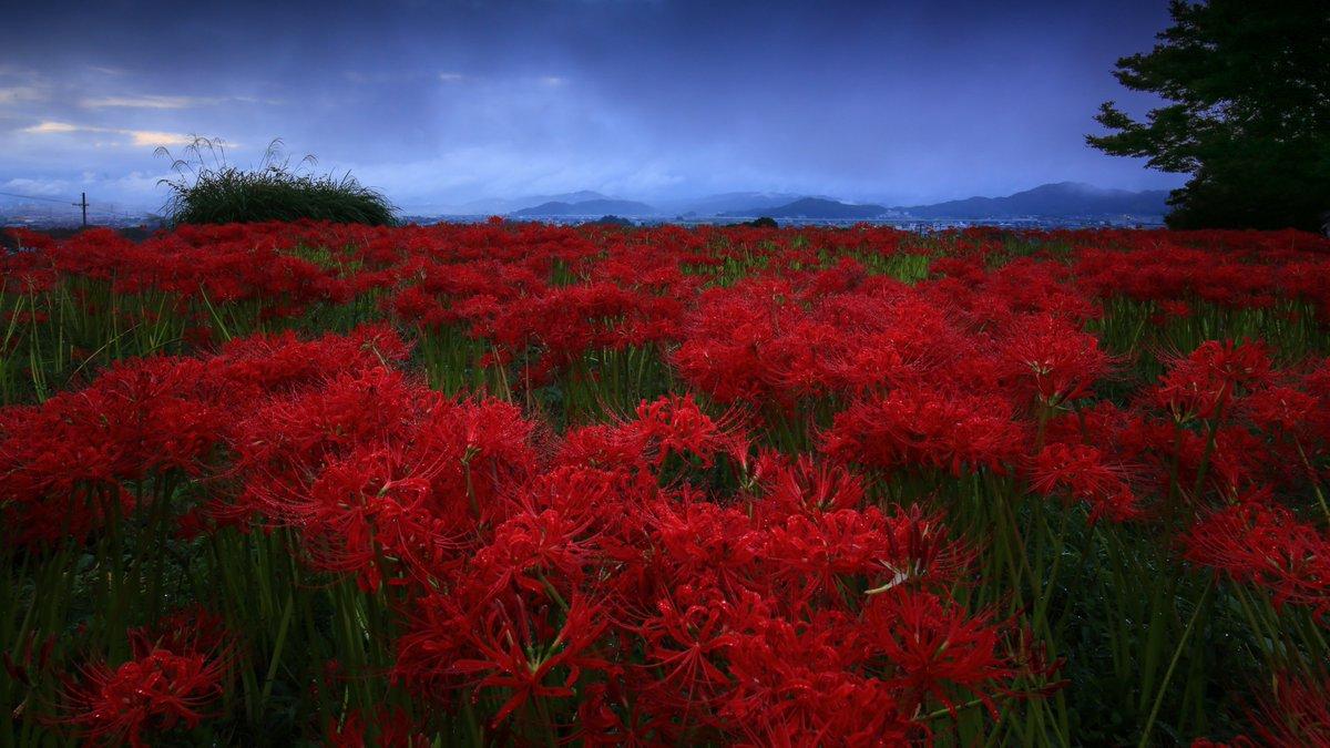 奈良県某所の彼岸花群生地。朝日を期待して行ったのに、まさかの雨...しかし逆にニュアンスある、異常に陰鬱な彼岸花が撮れてしまった。三途の川はこんな感じだろうか...。