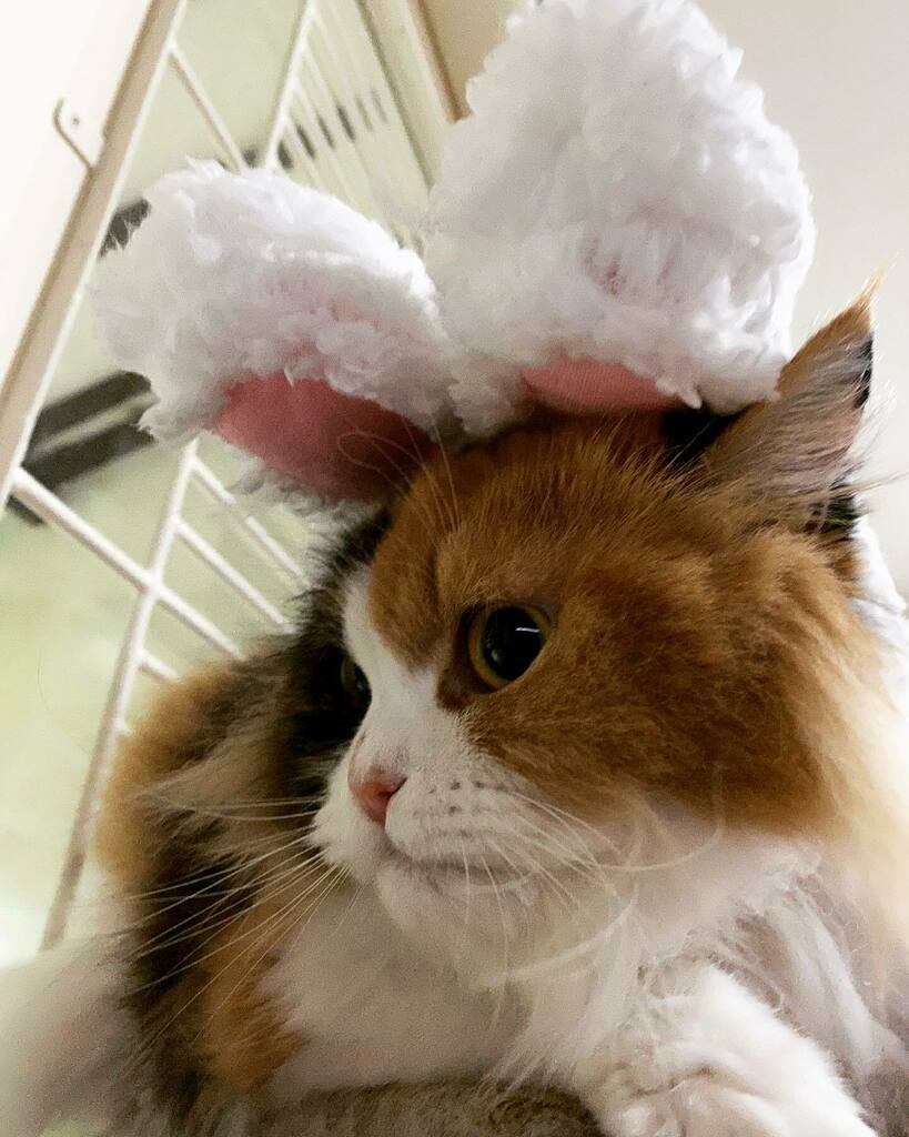 Bunny Penny 🐱 🐰🥰  #persiancat #calicocat #catstagram #meowstagram #cat #catsoftheworld  #catlovers #cutecats #kittens #貓  #коты #Katzen #chat  https://t.co/5MjxFT7oy3 https://t.co/fSWOs1NlLn