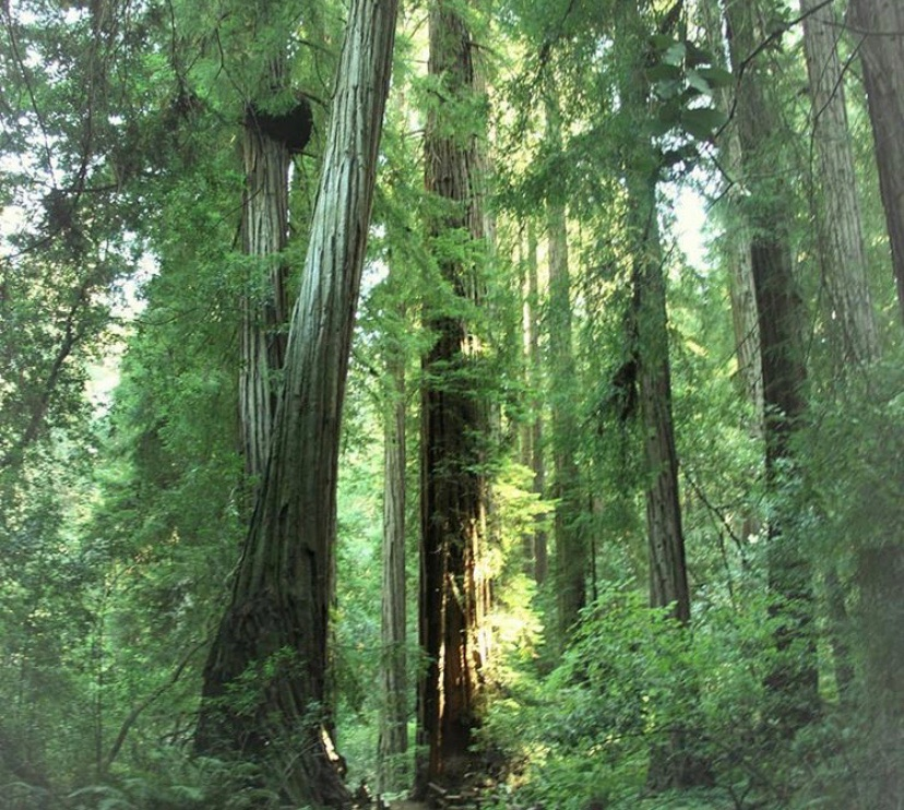 Muir National Woods is home to coastal redwoods that are up to 258 feet tall. That's approximately 45 six-foot persons stacked head to toe!  ig pc 📸: nationalparkgeek #muir #nationalpark #redwoods #california #vistatravel #virtuoso #hiking #nature #bucketlist #trail https://t.co/Qm44AOrHFO