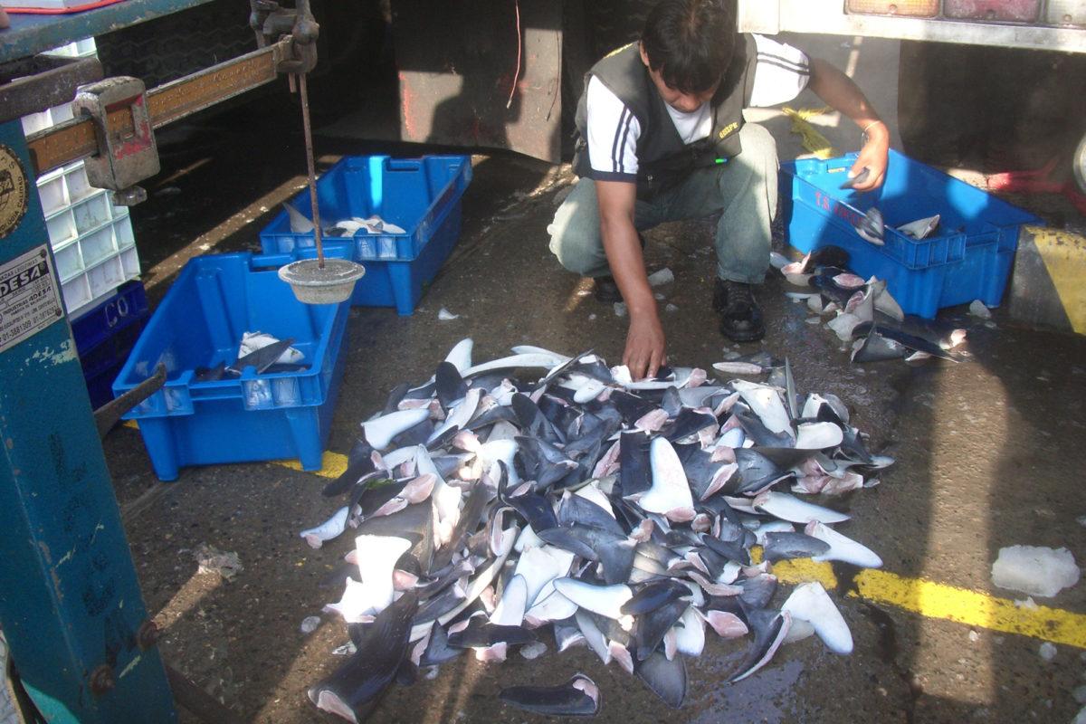 #ArchivoMongabay El #Perú fiscaliza actualmente el 100% de los cargamentos de aletas de tiburón que ingresan y salen del país. Esta medida le ha permitido dar un importante golpe al tráfico ilegal. ¿Cuáles son los aciertos y las debilidades del sistema?  ►https://t.co/g8GeJHSfLf https://t.co/mZGQco1Uu0