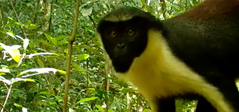 Nearly half of the remaining Upper Guinea rainforest lies in Liberia, and camera trap survey has captured 23 different species of wildlife walking through this remote rainforest. Its a rare glimpse into life of unique creatures in the forests of Liberia. news.mongabay.com/2020/09/watch-…