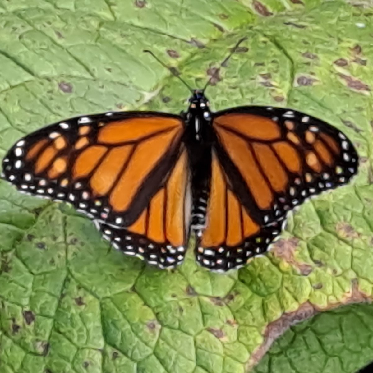 Leaves change & monarchs migrate. Love these sweet bright flyers. #monarch #Butterflies https://t.co/nl0sTNHtMC