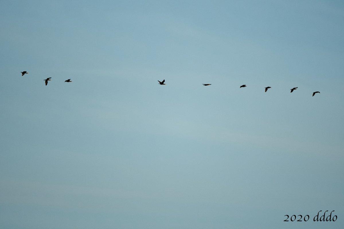 群れで #飛行 する #カワウ、2群を目撃^^ 1枚目はこれで全部、2枚目はもう1羽、前方かなり離れたところを飛行^^ 2020.09.28 #D500 #500mmF56Epf #GreatCormorant #flight #bird #photo #鳥 #写真 https://t.co/FqM2b5lGzk