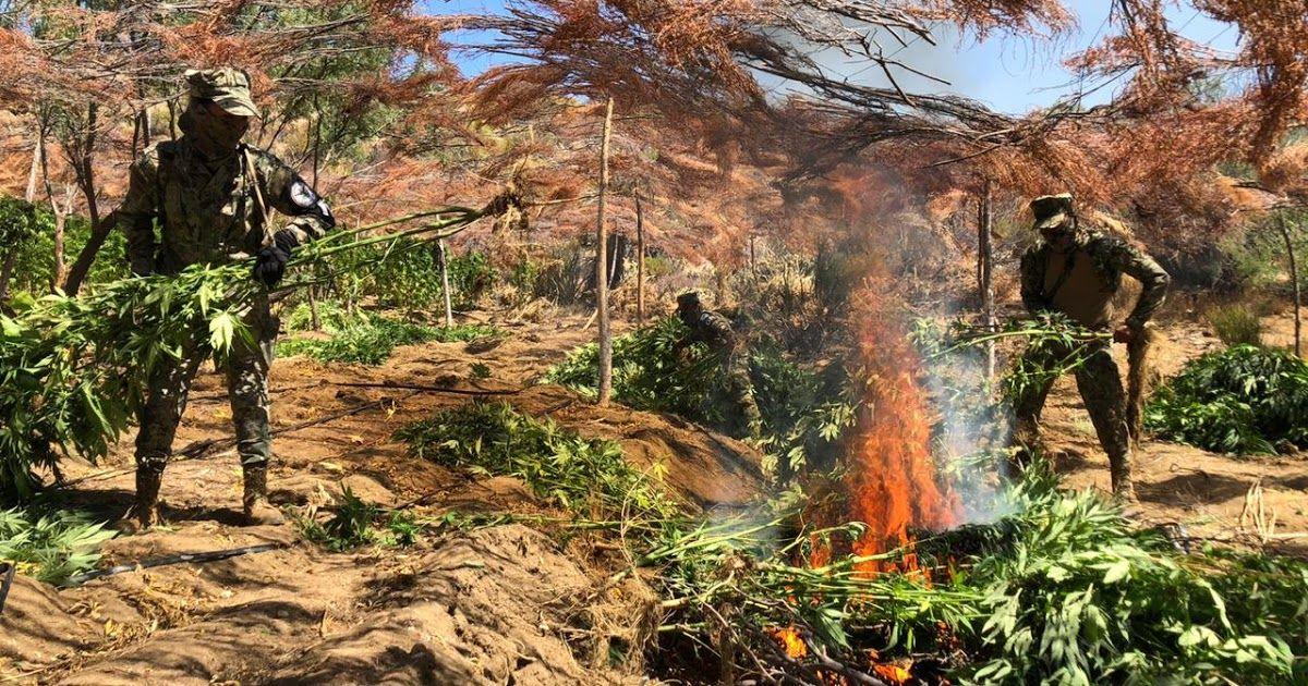 Un total de 236 mil 300 plantas de marihuana fueron destruidas así como sus sistemas de riego clandestinos, en inmediaciones del Ejido Leandro Valle y Rancho Jonuco, en #Ensenada, #BajaBalifornia  Info aquí 👉 https://t.co/Gd1Kb7q81Z https://t.co/ZvR6GI2QHQ