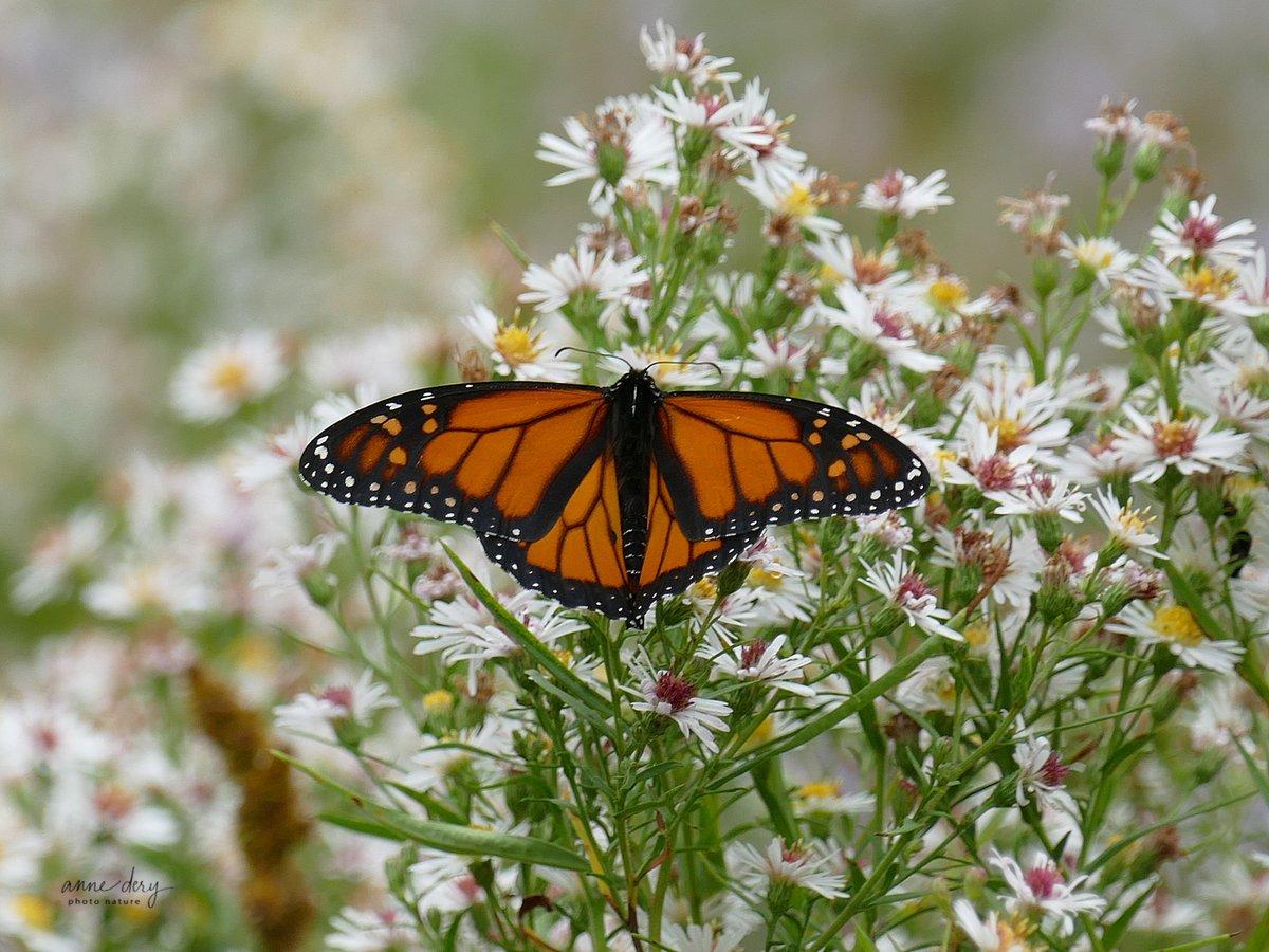 Il y en a encore quelques-uns parmi nous. Monarque au Cap-Tourmente aujourd'hui 2020-09-28 ! #Monarque #Monarch #Lepidoptera #Lépidoptères #Papillons #Butterflies https://t.co/Qgsn2WGOsi