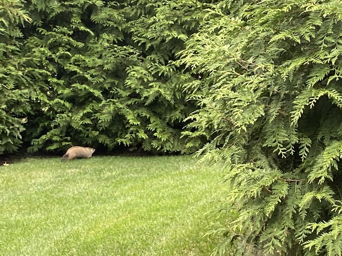 Don't laugh at me for not knowing... but what is this animal that just ran across our yard? https://t.co/aNZve3LbxZ