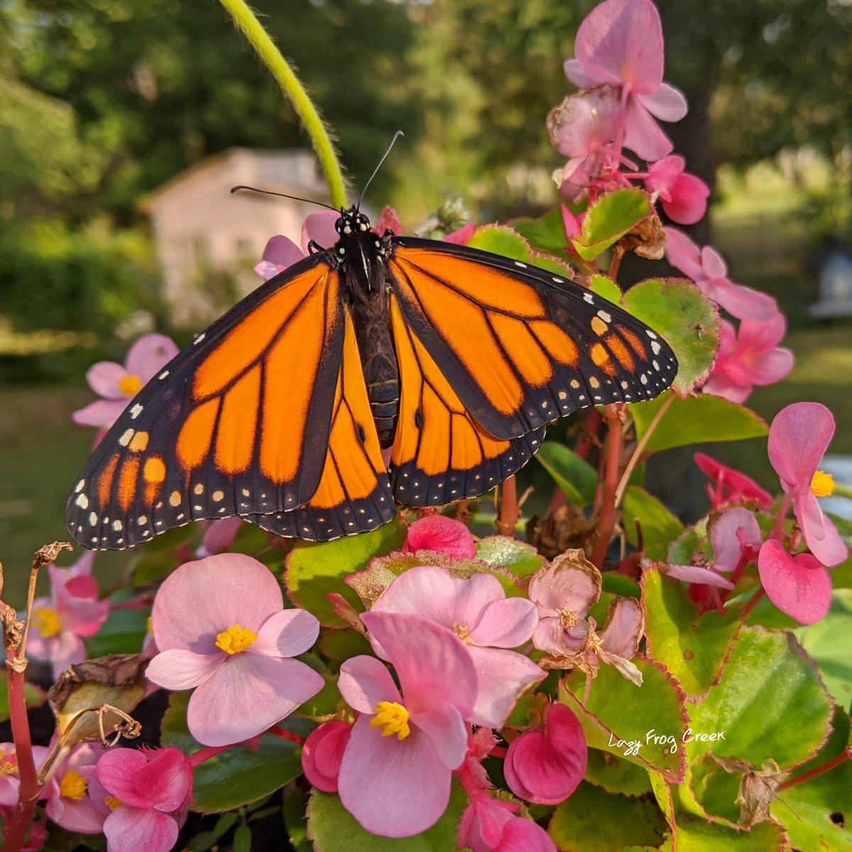 #monarch #butterfly #MondayMotivation #naba #nature #wildlife  #NewJersey https://t.co/bnUXP1Sjtt