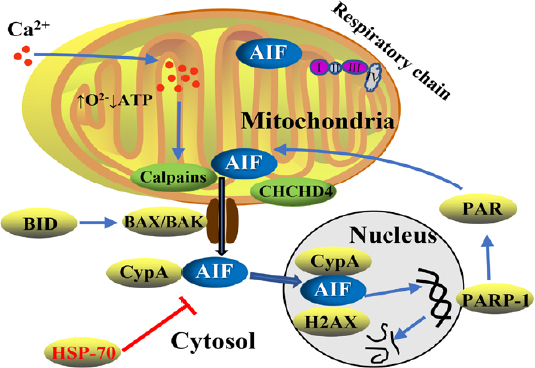 #NRR [Review] Role of apoptosis-inducing factor in perinatal hypoxic-ischemic brain injury #hypoxiaischemia #mitochondria #apoptosis  https://t.co/4klNzZnmIg https://t.co/guqOnzptJH