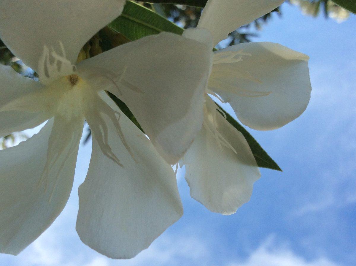 𓂃.𓈒𓏸 𑁍 𖠇.*・♬︎  空の秘密 綺麗な訳をそっと 教えてくれました  https://t.co/efz46Yka9p  この日は暑くて 白く大きな雲がある 青空でした  希望がたくさんありました  #キョウチクトウ #夾竹桃 #白い花 #花 #flowerlovers #はなまっぷ #空 #sky #skylovers #空が綺麗 でうれしい #夏の思い出 https://t.co/IOyfRYvMTf
