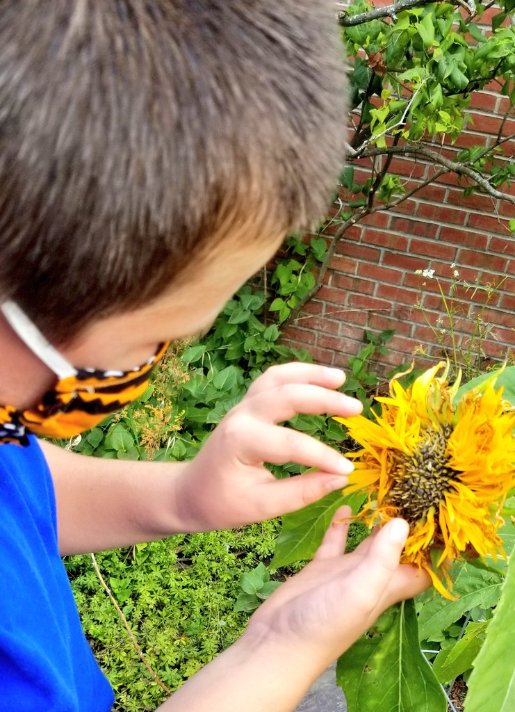 Great weather for some seed saving in the #cpsmith Happy Garden today! #bsdvt #sunflower #milkweed Looking forward to drying, counting and packaging them for give-aways! @Kids_Gardening https://t.co/1QjJMSYZA9