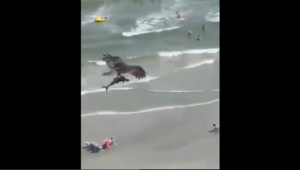 (Video) Águila sorprende a turistas cazando un tiburón en una playa de Florida - https://t.co/KG9PLtN9S5  #Toluca #Metepec #EdoMex  #Mexico #CDMX https://t.co/Qive8sXOgB