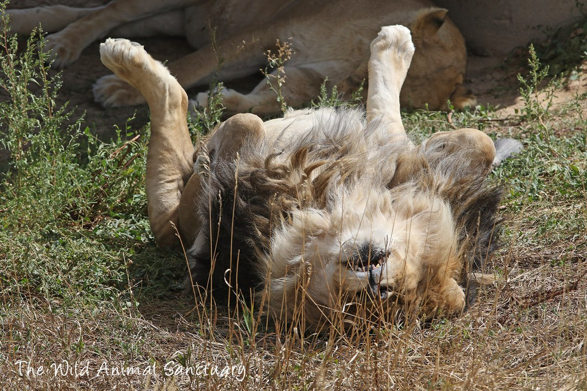Picture Of The Day! CAPTION THIS... #TheWildAnimalSanctuary #WildAnimalSanctuary #PictureOfTheDay #Sanctuary #Colorado https://t.co/RAsC6rDMdc