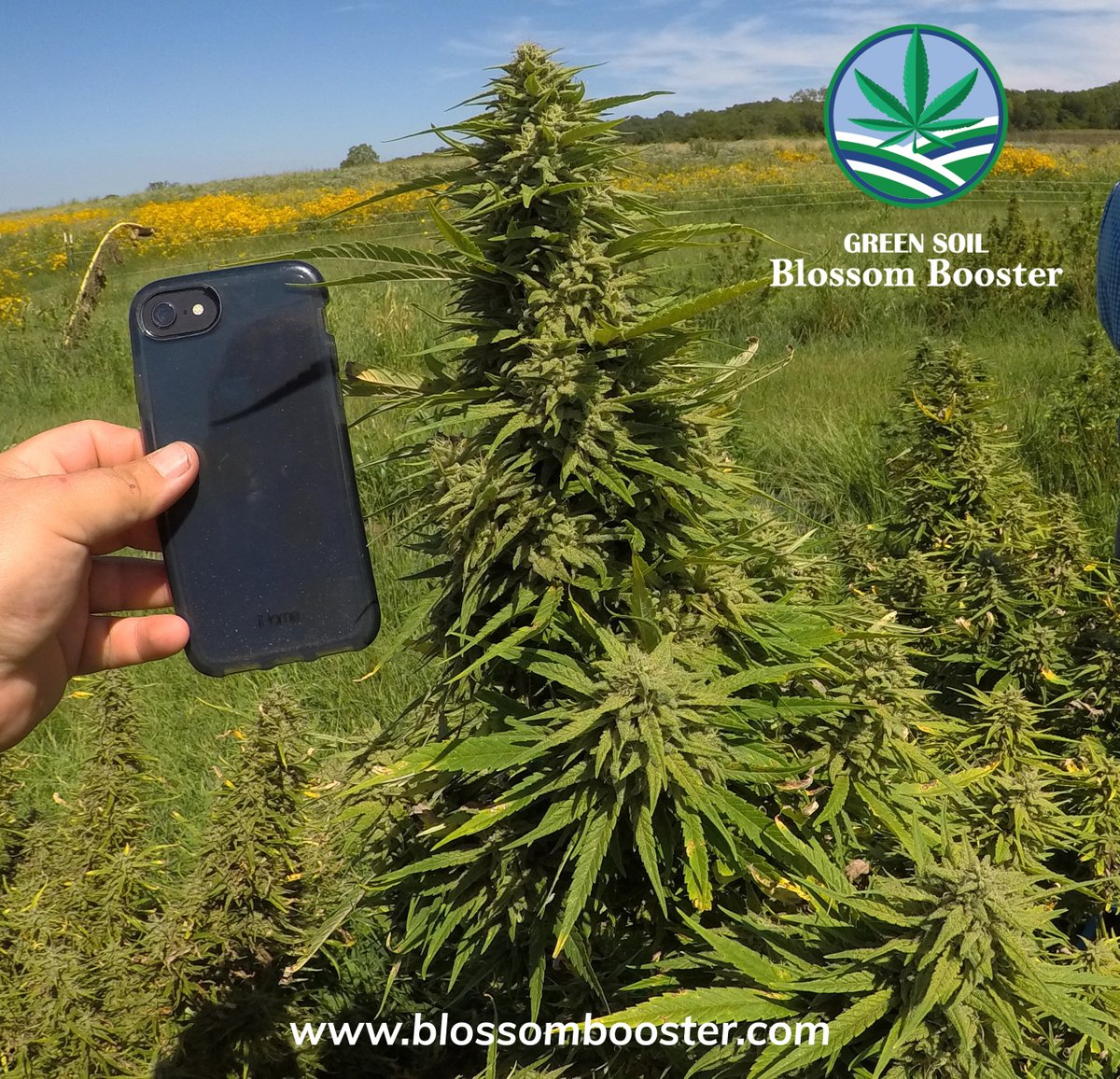 🌿 Outdoor cannabis, using just Blossom Booster and native heavy clay soil.🌿 Blossom Booster is recommended for use by all cannabis growers after their live tests.🌐 https://t.co/fjGTviOis5 #cannabissociety #cannabisoil #cannabiscures #cannabisismedicine #cannabisculture https://t.co/ujEv4QDnz9