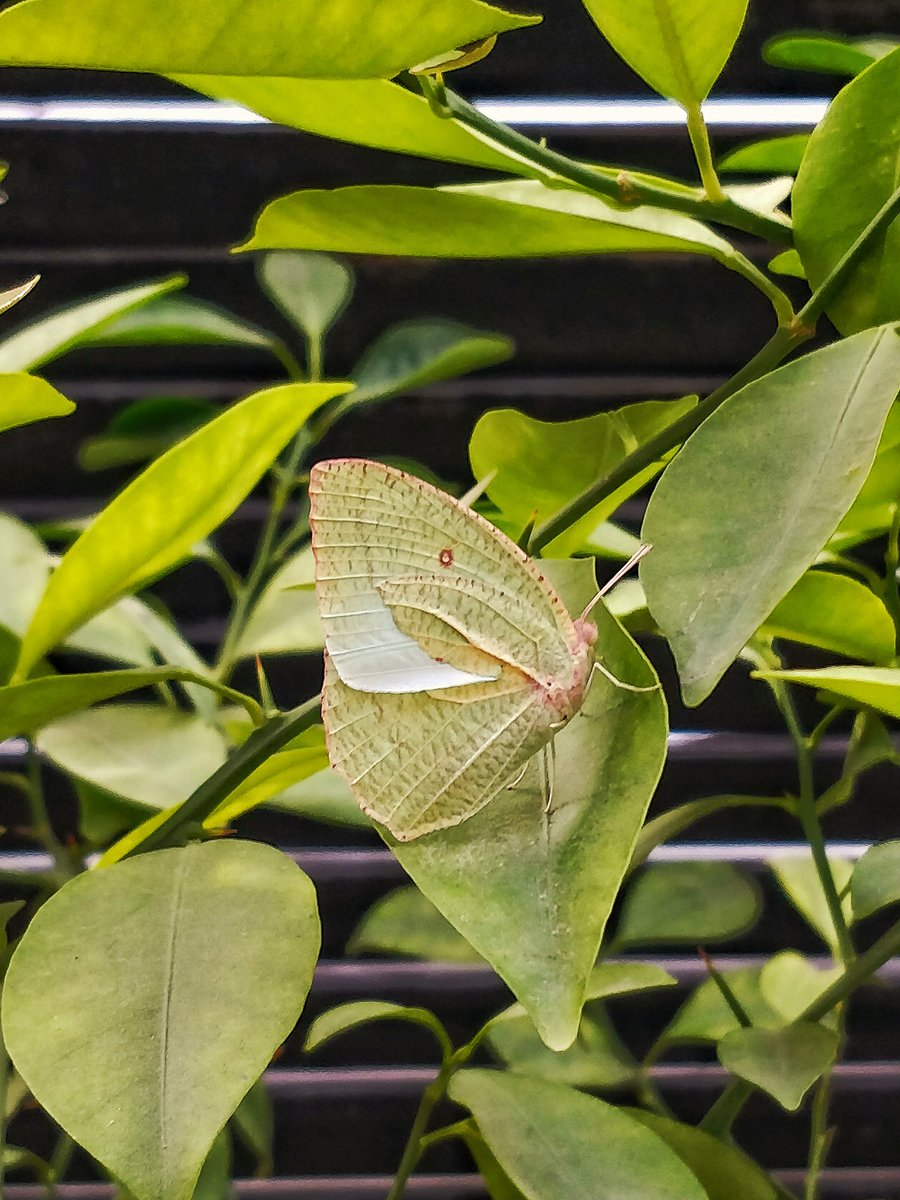 """A """"rare tibetan brimstone"""" butterfly out of cacoon, that's pretty cool! Spotted 4 of them so far in my garden✔️ #wildlife #natgeo #discovery #butterfly #brimstone #butterfly #tibetan #rare #beauty #nature #wildlifephotography #animals #india #captures #naturephotography #wild https://t.co/90Y6kTjwV8"""