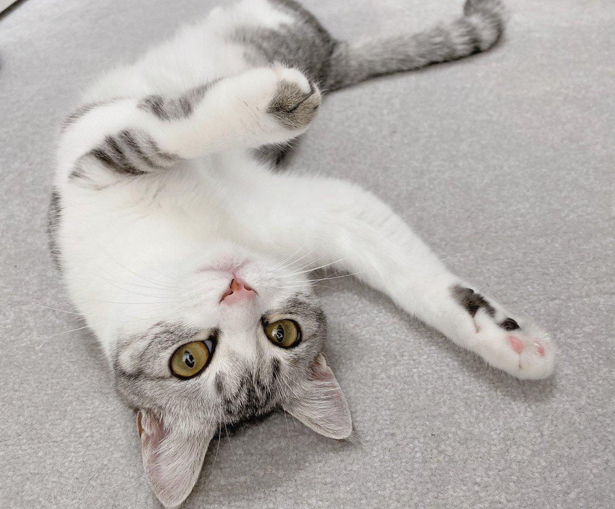 健康診断受けてきました私「肥満の兆候ありますかね? 実家の猫に比べて触り心地がやたら柔らかくて……」先生「この子がもちもちタイプなだけなので問題ないですよ😄」私「もちもちタイプ……」どうも、もちもちタイプの猫です