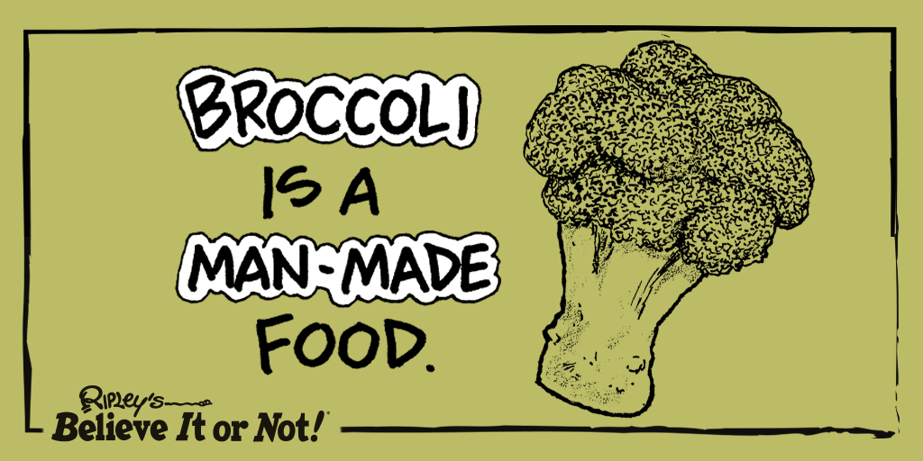 It stemmed from the wild cabbage #plant, Brassica oleracea! 🥦 #Broccoli  https://t.co/9ugNBYqdLO https://t.co/s1amFnXFl6