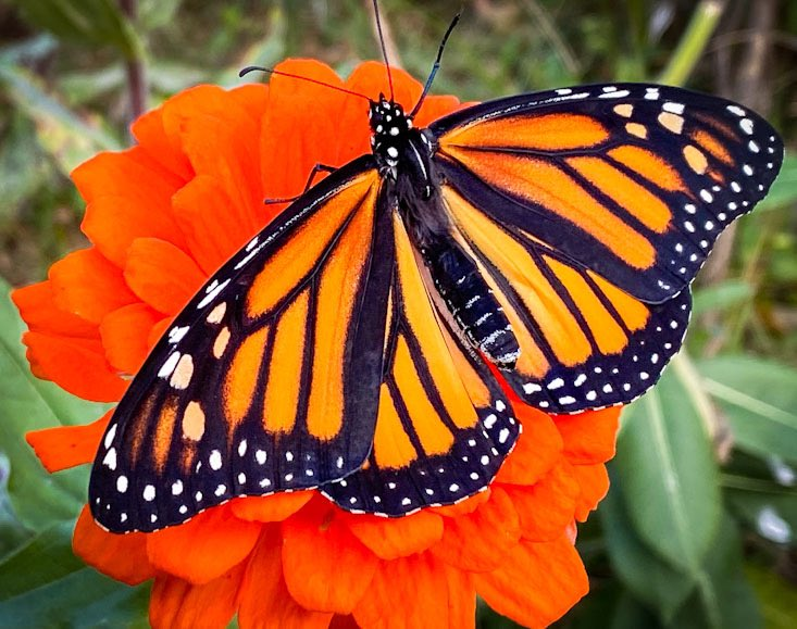 1 of the 4 #monarchs we released yesterday but the season is getting close to the end. The fall is a great time to plant some #milkweed seeds to help these beautiful creatures next year. Check out https://t.co/psfxEyRrJP for more info. #naturelover https://t.co/nucbrwhRtO