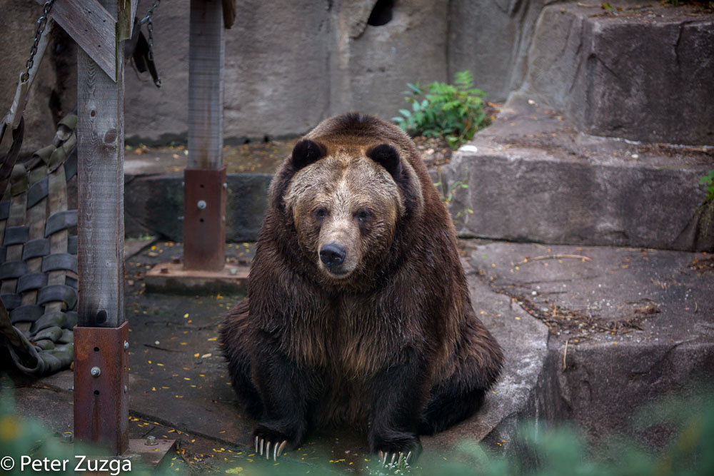 """""""It's only Tuesday?"""" Brown Bear at the Milwaukee County Zoo this morning. #Tuesday #bear #BrownBear #Milwaukee #Wauwatosa #Wisconsin #Zoo #Fall #tourism #conservation #photography https://t.co/AsYdXseYrK"""