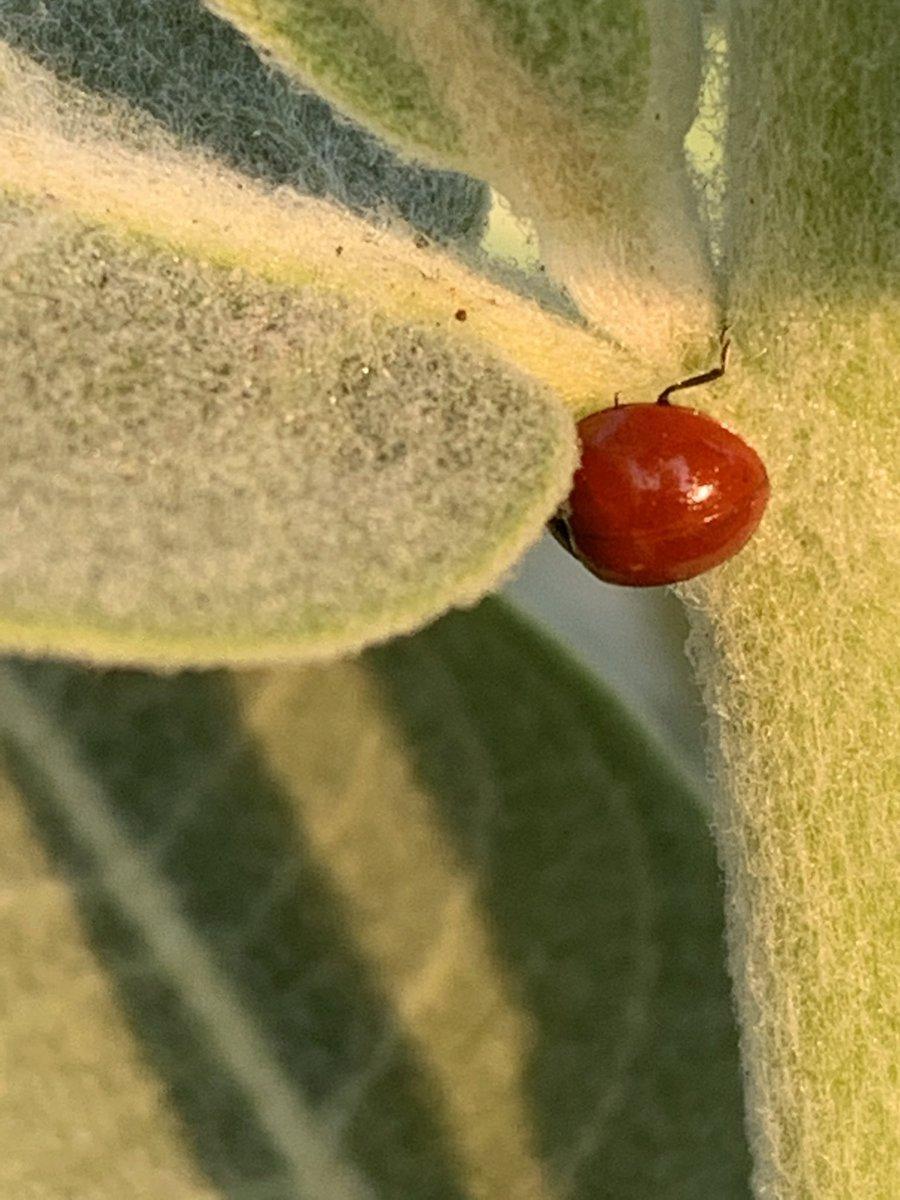 #Sunrise #Ladybug #Milkweed #Nature https://t.co/m4971q8QgL