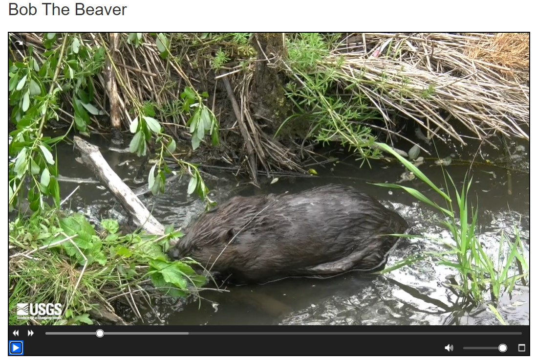 It's Urban National Wildlife Refuge Day! Bob the Beaver lives in Portland, OR. USGS scientists study beavers like Bob to explore how they benefit city streams. Learn more with this fun video: https://t.co/kmrbjjQsvL What animals do you see in your neighborhood? #beavers https://t.co/qkchrhylNE