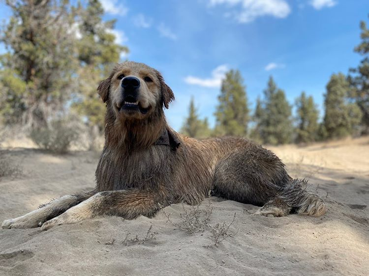 Sand don't bother me non. Thanks to my Skout's Honor baths.  - - - #dirtydog #skoutshonor #skoutshonorproducts #thelife #adventure #loveinabottle #thegreatoutdoors #goldenretriever #golden #thewoods 📷IG: @buoyofbend https://t.co/DnAdsW7LTR