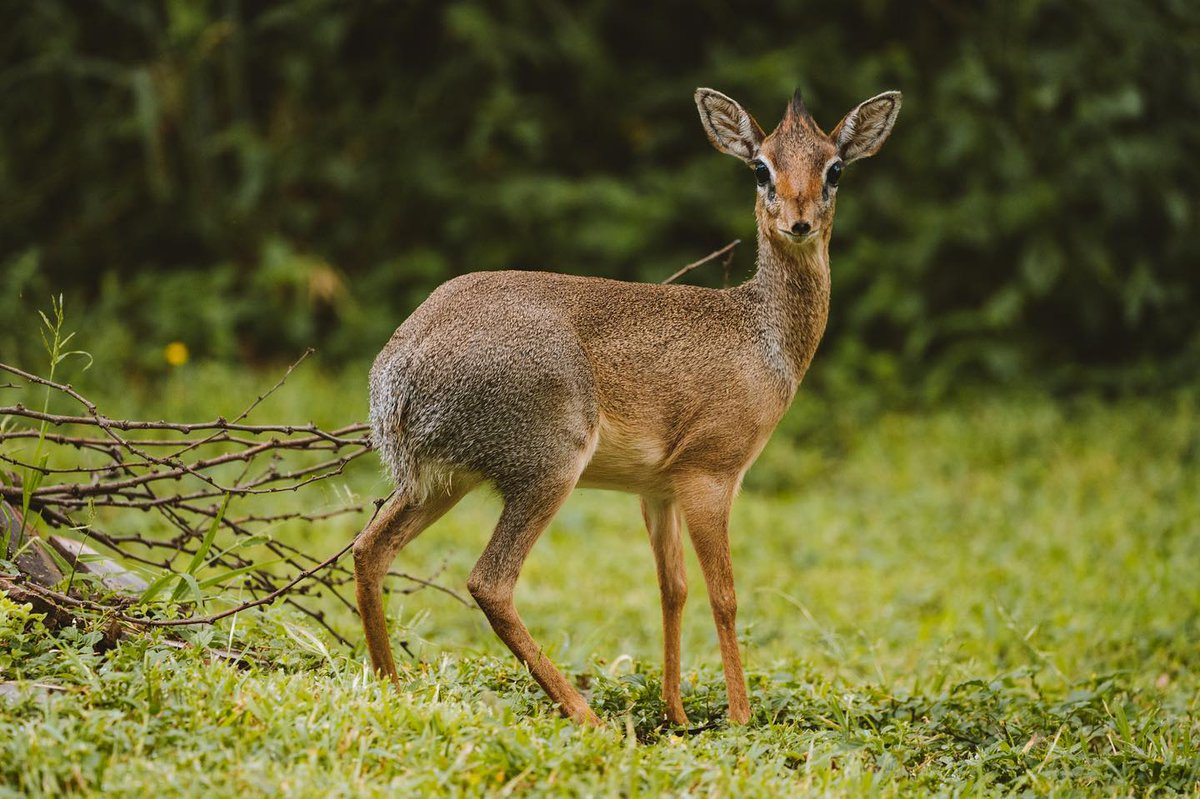 When you stay with us at #serenambuzimawe, be on the look out for the very pretty Klipspringer Antelopes, locally known as Mbuzi Mawe aptly named for it mainly dwells on the granite rocks of the #Serengeti. It is the Klipspringer that gives Mbuzi Mawe Serena Camp it's name! https://t.co/vvNPMDN55y