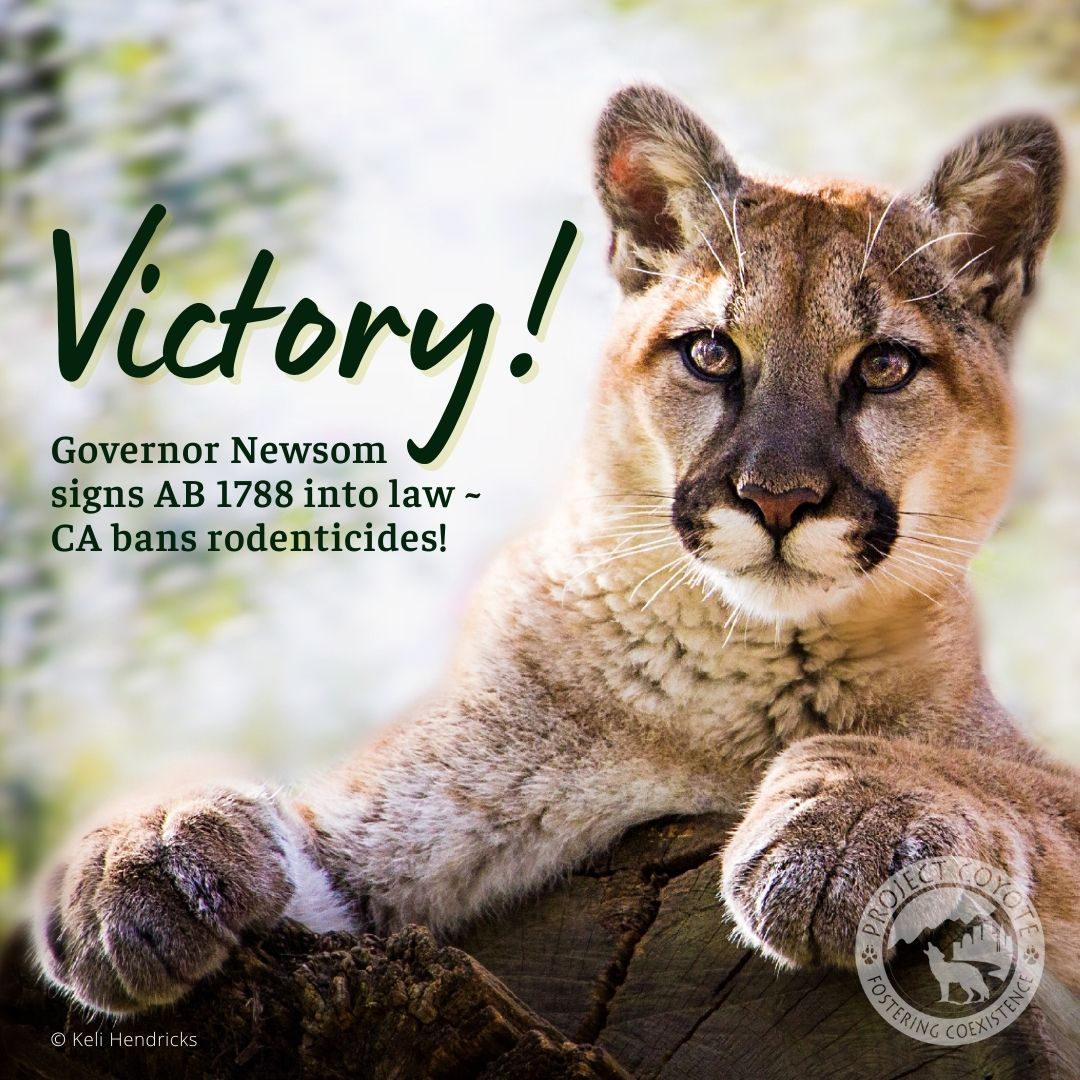Fantastic news! @GavinNewsom signed #AB1788 into law today, making CA the 1st state to stop the use of dangerous, 2nd-generation anticoagulant rodenticides. This is a big win for #wildlife! Thank you to @ProjectCoyote & everyone else who fought hard for this important bill! https://t.co/FyfdefAdwk