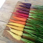 Waar?  Carrots are orange colored for purely political reasons. In the 17th century, Dutch breeders cultivated orange carrots as a tribute to Wilhelm von Orange - and the color got stuck! A thousand year story of yellow, white and purple carrots was wiped out in one generation