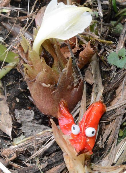【驚き】実を付けた珍しいミョウガ、大分・日田市で見つかる赤い実を付けたミョウガ。発見した女性は「トウガラシのようで、とてもミョウガとは思えん。95年生きてきて初めて見た」と語った。