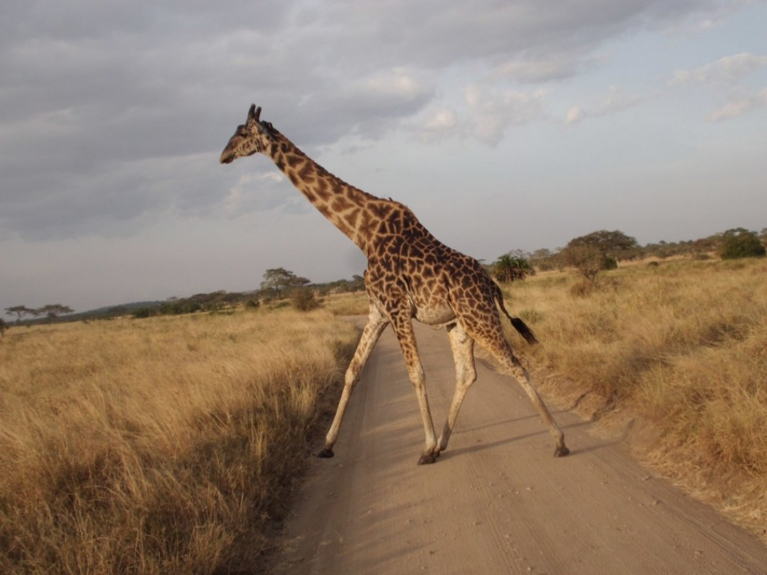 Stop! Stop! Giraffe crossing! #wildearth #tanzaniaunforgettable #Tanzania #cheekymonkeysafaris #wildlife #safari https://t.co/4OvZVZCMAK