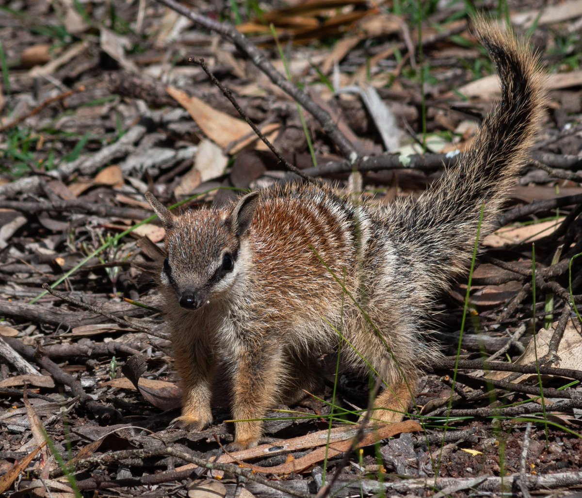 Watching young #numbats playing is one of the most wonderful #wildlife experiences. They are the most enchanting little animals. #mammalwatching #wildoz https://t.co/j3HO1pAbag