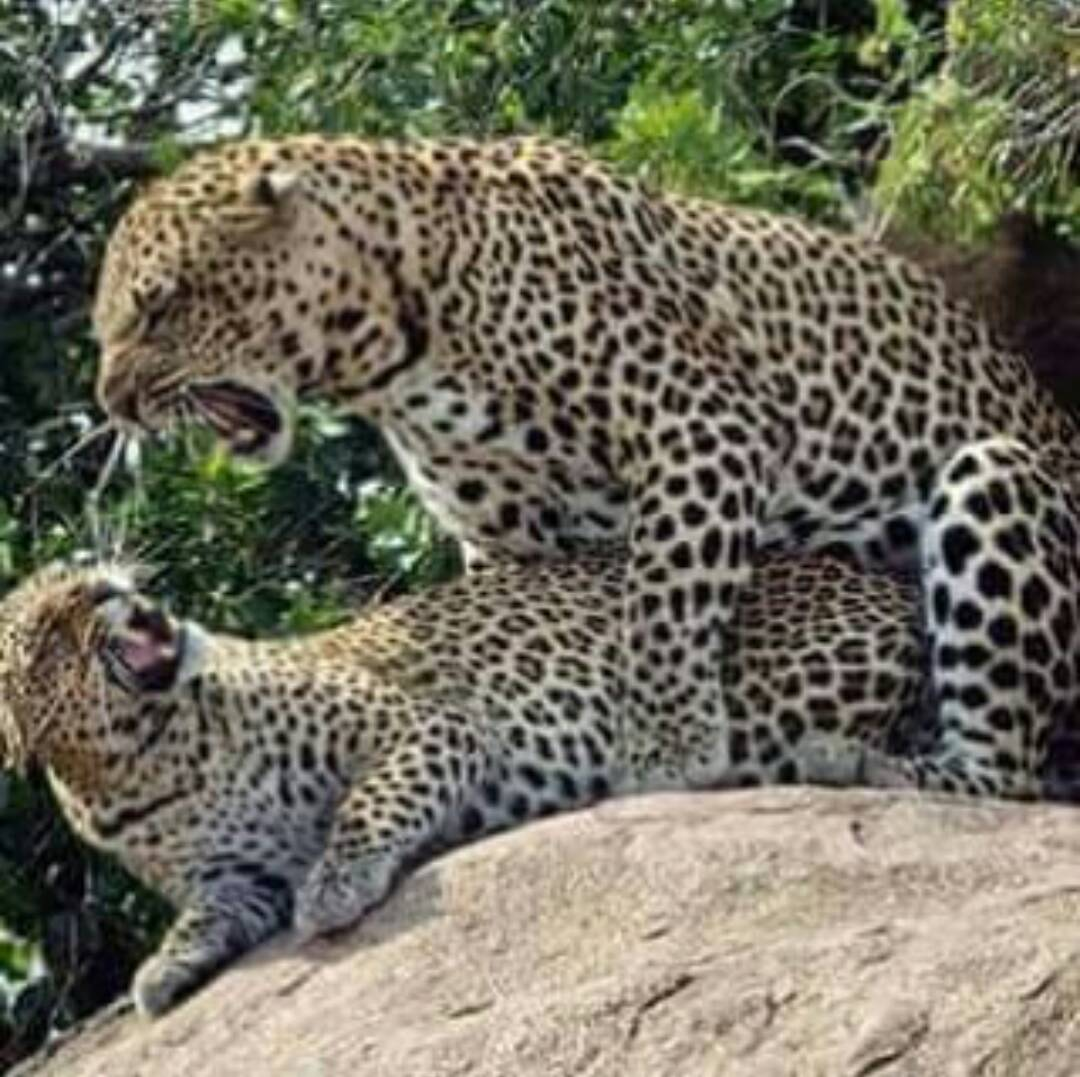 Spotted in Serengeti; Leopards mating #wildlife #nature #safari #travel #holiday #nationalparks #Africantours #Tanzaniatours https://t.co/WGGME17jIq