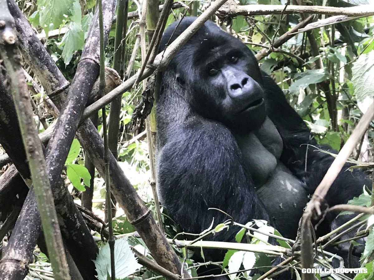 Gorilla Doctors (@GorillaDoctors)   Twitter