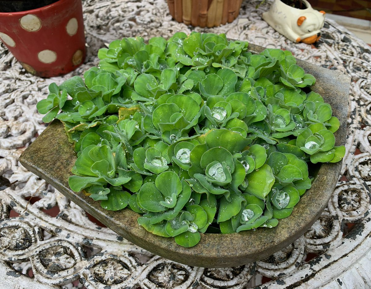 The Nile Cabbage or ಅಂತರಗಂಗೆ antaragange in Kate garden captured some pearls from the heavy Bengaluru rain☔️ last evening.Nature executes functionality (rain water harvesting) artfully @seasonwatch_in @dp_satish (Stone urli is from Belur)