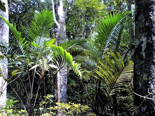 HYOPHORBE HYPE! Great to see these endangered #hyophorbe #palms flourishing. Known from just 3 wild adults, these H.vaughanii were planted back into the forest 23 years ago from seed grown plants. First pic in 1997. #conservation action, not lip service!  #mauritius #expedition https://t.co/N2iDRSjQyo
