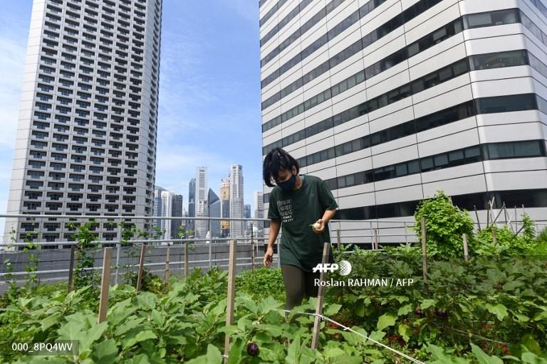 Green shoots: Rooftop farming takes off in Singapore #AFP  https://t.co/m0Rig5Fw8e 📸 @rahmanroslan https://t.co/vxZOGRDyCc