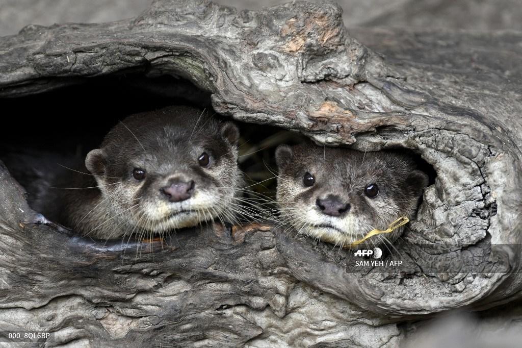 #Taiwan - Baby boom at Taipei Zoo lightens pandemic blues. #AFP 📸 @samafp https://t.co/YnmPDw0koU https://t.co/JN4FQFsdRW