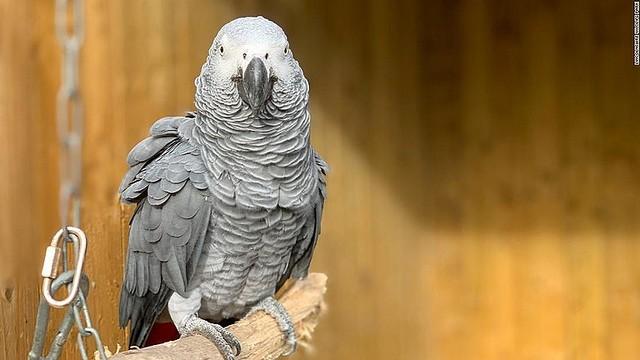 【Fワード連発】英動物公園のヨウム5羽が来園者や職員に悪態、一般公開中止にアフリカン・グレー・パロットと呼ばれる大型インコ。責任者は「子供達への影響が少し心配になった」と語った。